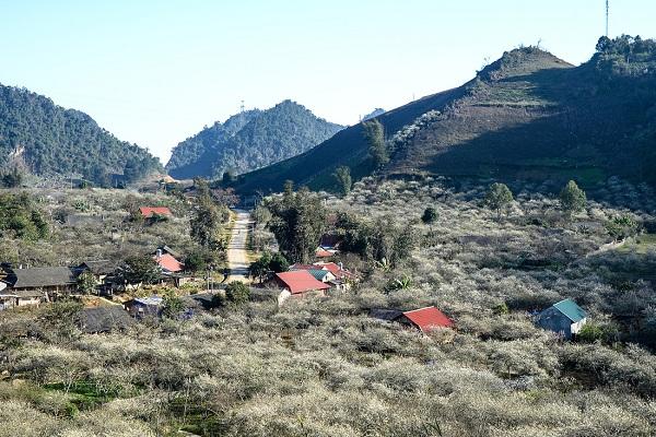 Những ngôi nhà đơn sơ của đồng bào Mông giữa rừng mận đang độ nở hoa.