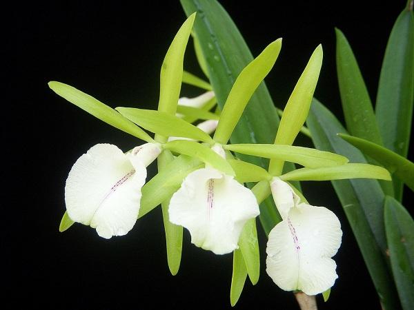 Hoa lan Brassavola ở Curacao